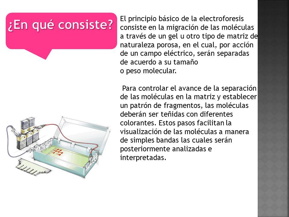 El principio básico de la electroforesis consiste en la migración de las moléculas a través de un gel u otro tipo de matriz de naturaleza porosa, en el cual, por acción de un campo eléctrico, serán separadas de acuerdo a su tamaño