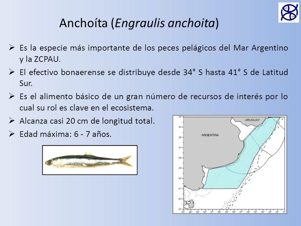 Anchoíta (Engraulis anchoita)