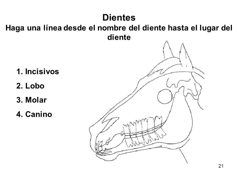 Dientes Haga una línea desde el nombre del diente hasta el lugar del diente