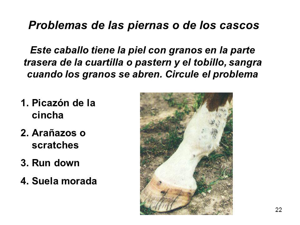 Problemas de las piernas o de los cascos Este caballo tiene la piel con granos en la parte trasera de la cuartilla o pastern y el tobillo, sangra cuando los granos se abren. Circule el problema