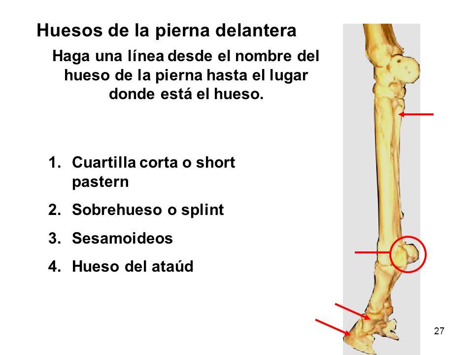 Huesos de la pierna delantera