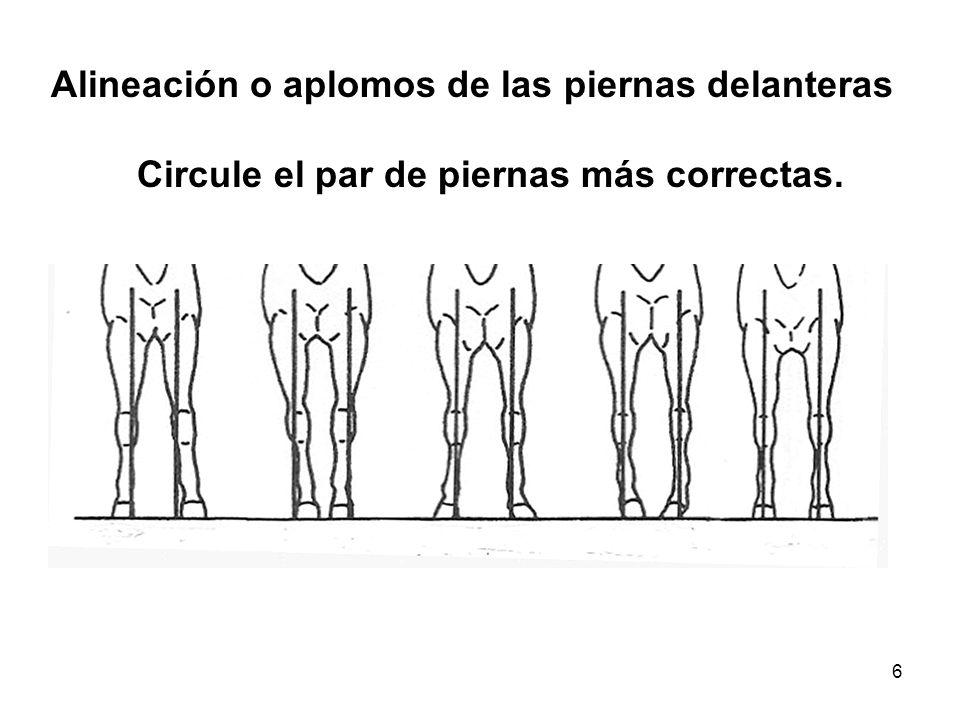 Alineación o aplomos de las piernas delanteras