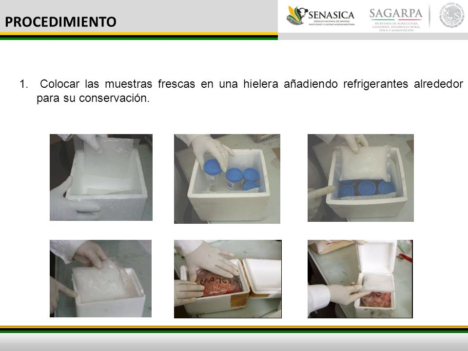 PROCEDIMIENTO Colocar las muestras frescas en una hielera añadiendo refrigerantes alrededor para su conservación.