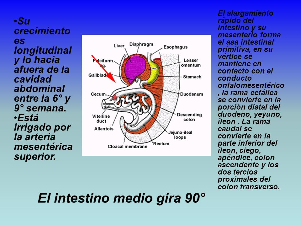 El intestino medio gira 90°