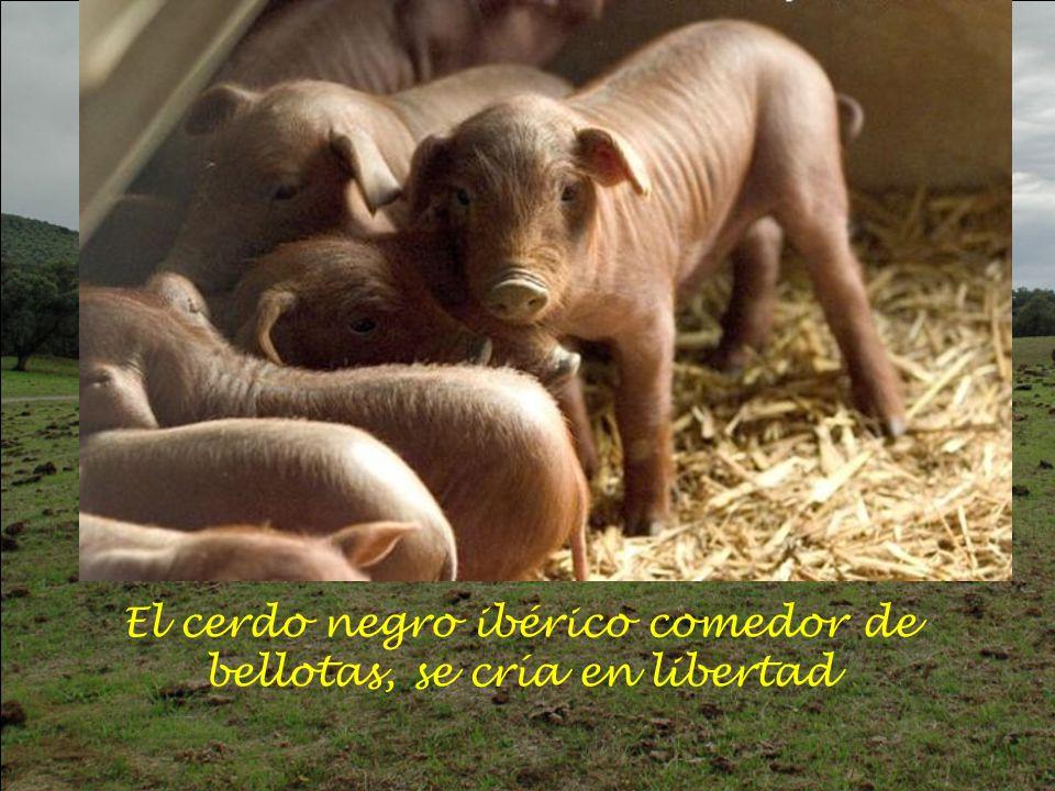 El cerdo negro ibérico comedor de bellotas, se cría en libertad