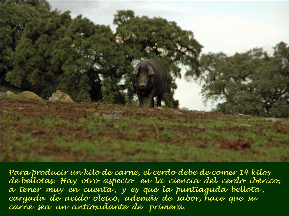 Para producir un kilo de carne, el cerdo debe de comer 14 kilos de bellotas.