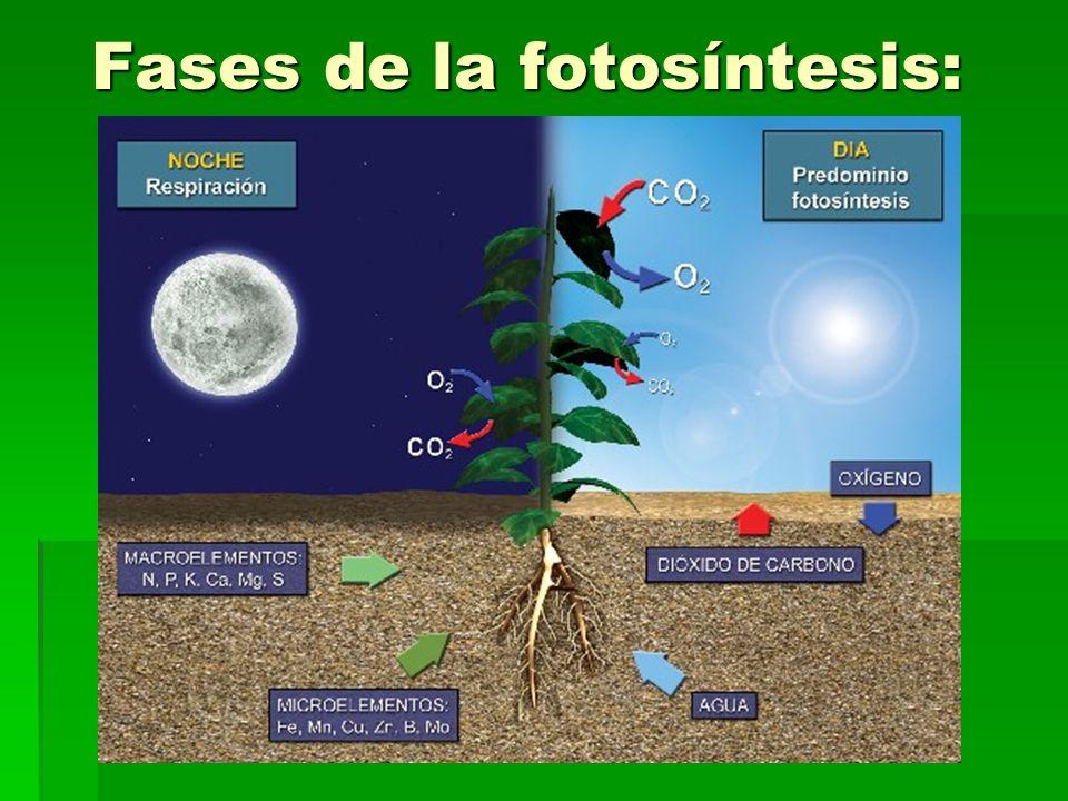 Fases de la fotosíntesis: