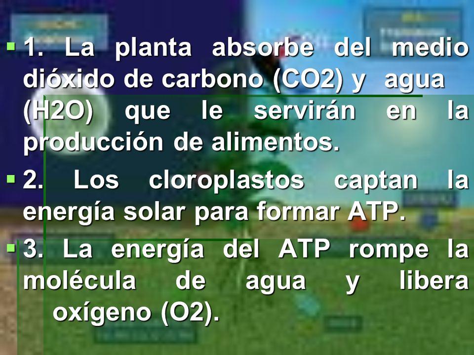 1. La planta absorbe del medio dióxido de carbono (CO2) y