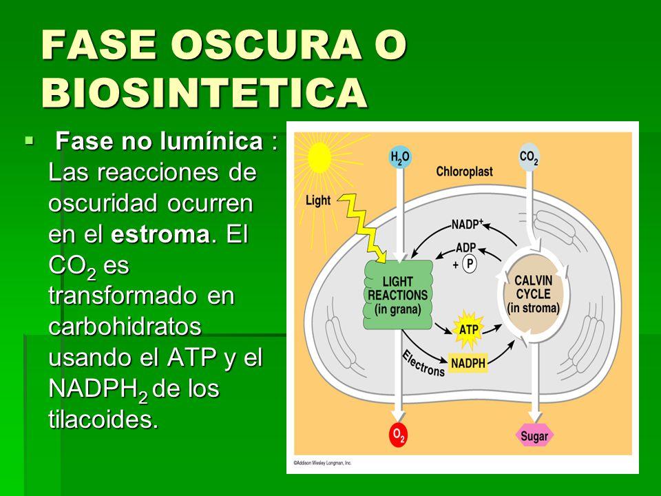 FASE OSCURA O BIOSINTETICA