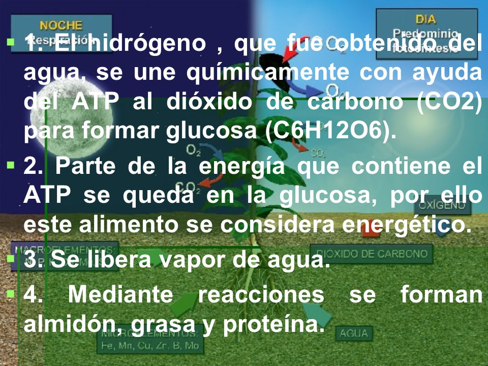 1. El hidrógeno , que fue obtenido del agua, se une químicamente con ayuda del ATP al dióxido de carbono (CO2) para formar glucosa (C6H12O6).