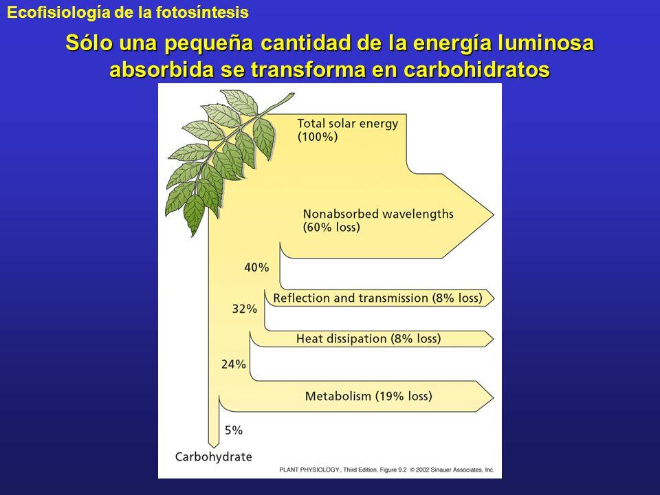 Sólo una pequeña cantidad de la energía luminosa absorbida se transforma en carbohidratos
