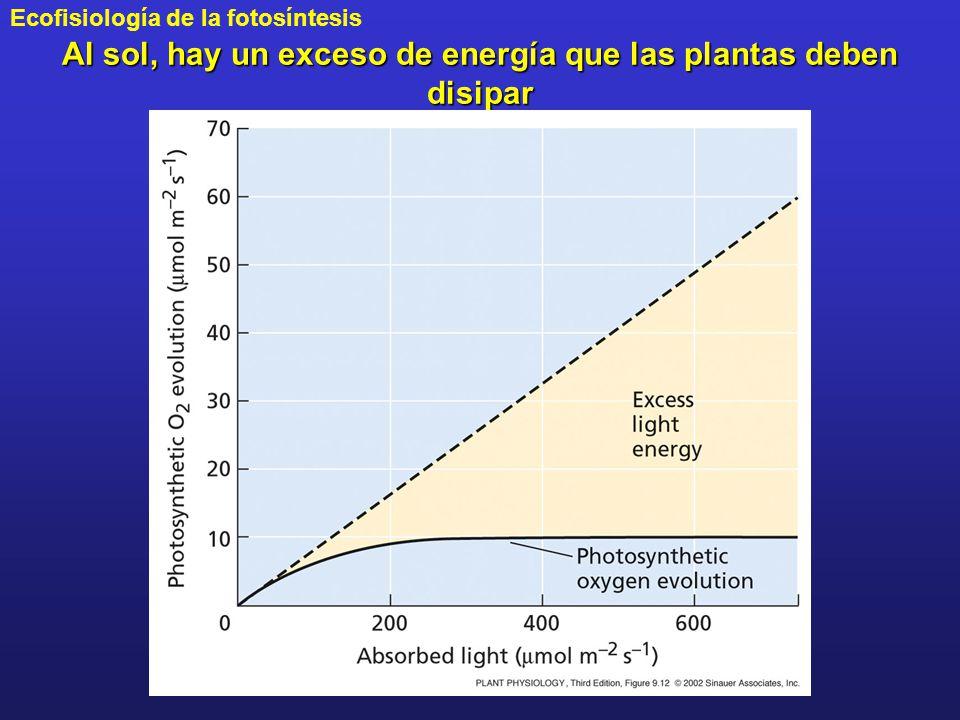 Al sol, hay un exceso de energía que las plantas deben disipar