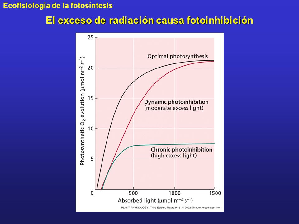 El exceso de radiación causa fotoinhibición