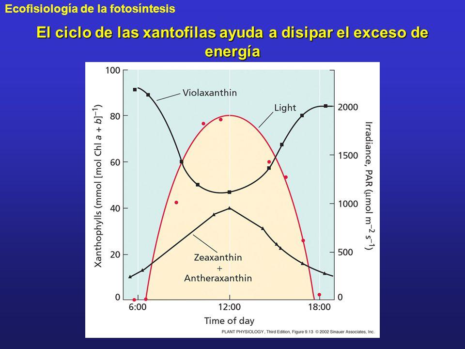 El ciclo de las xantofilas ayuda a disipar el exceso de energía