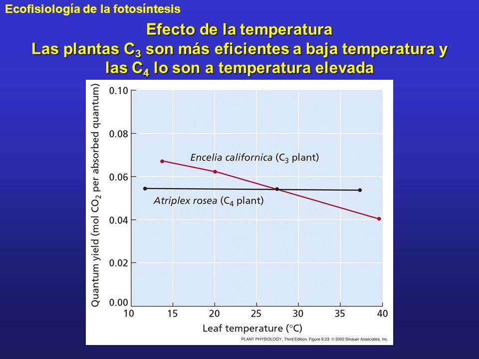 Efecto de la temperatura Las plantas C3 son más eficientes a baja temperatura y las C4 lo son a temperatura elevada