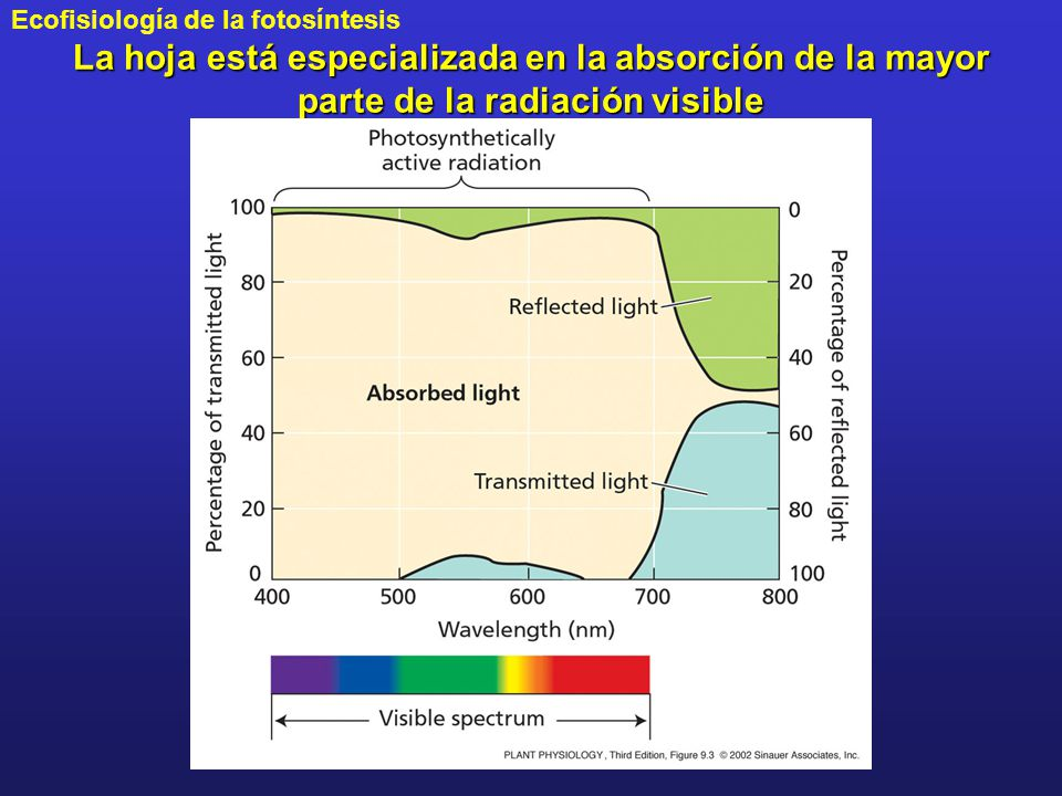 La hoja está especializada en la absorción de la mayor parte de la radiación visible