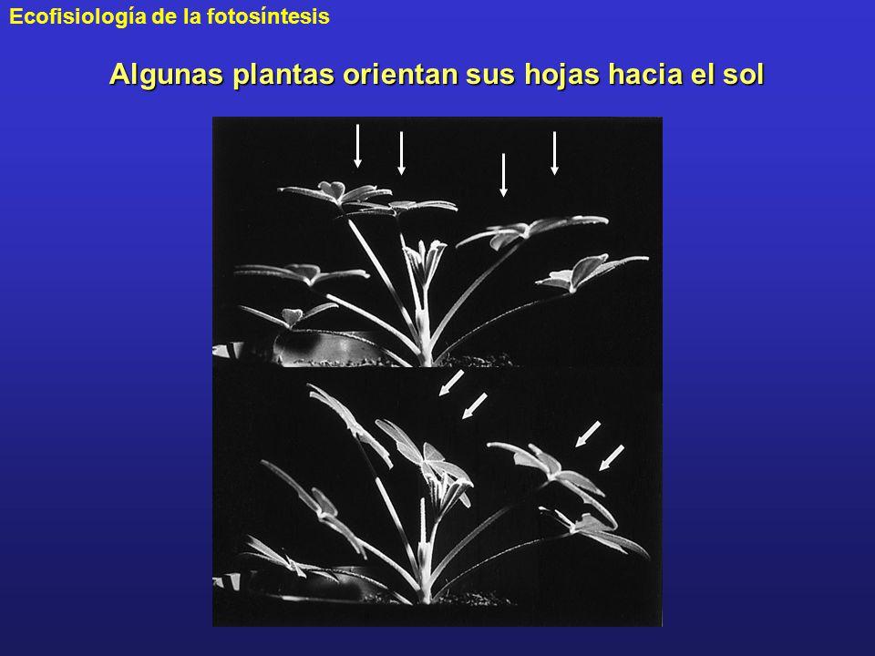 Algunas plantas orientan sus hojas hacia el sol