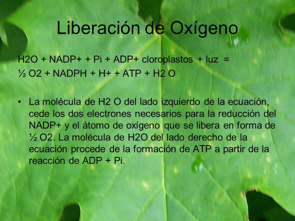 Liberación de Oxígeno H2O + NADP+ + Pi + ADP+ cloroplastos + luz =