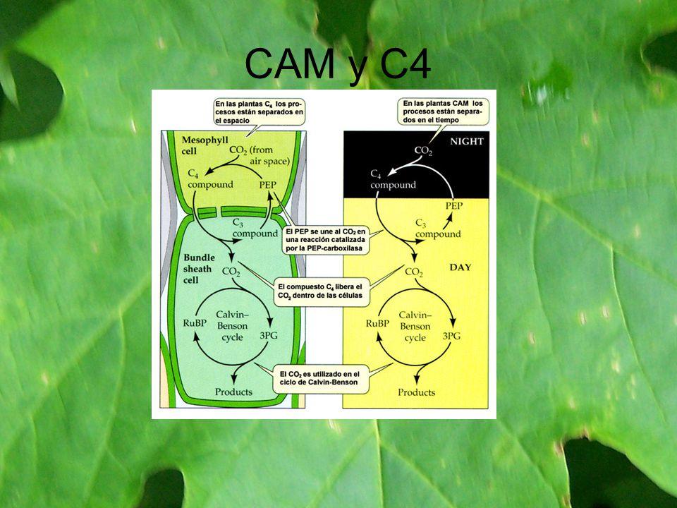 CAM y C4