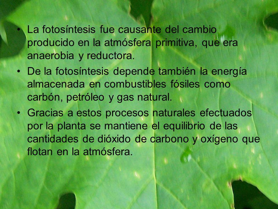 La fotosíntesis fue causante del cambio producido en la atmósfera primitiva, que era anaerobia y reductora.