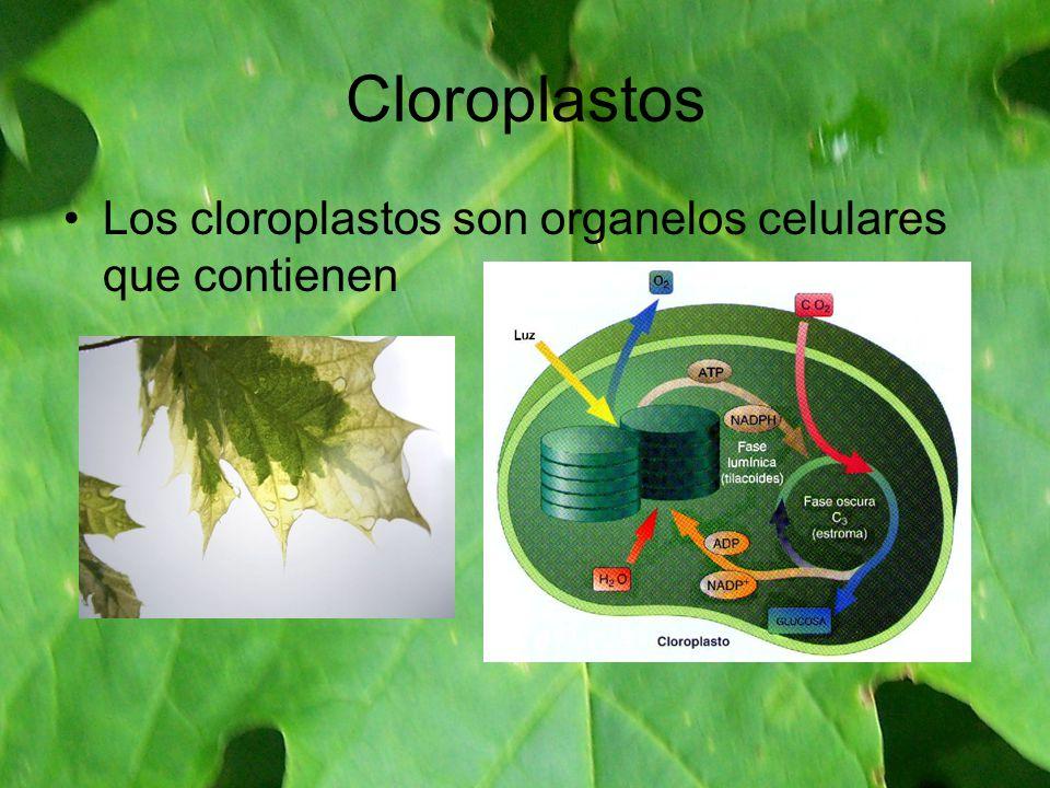 Cloroplastos Los cloroplastos son organelos celulares que contienen