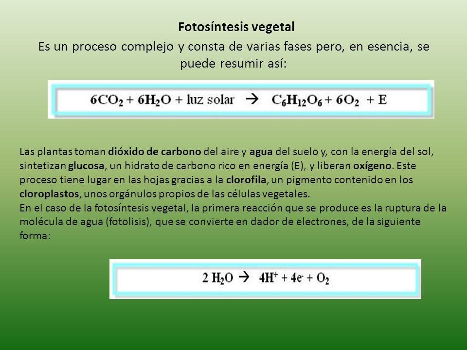 Fotosíntesis vegetal Es un proceso complejo y consta de varias fases pero, en esencia, se puede resumir así: