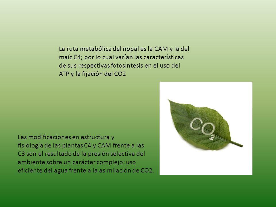 La ruta metabólica del nopal es la CAM y la del maíz C4; por lo cual varían las características de sus respectivas fotosíntesis en el uso del ATP y la fijación del CO2