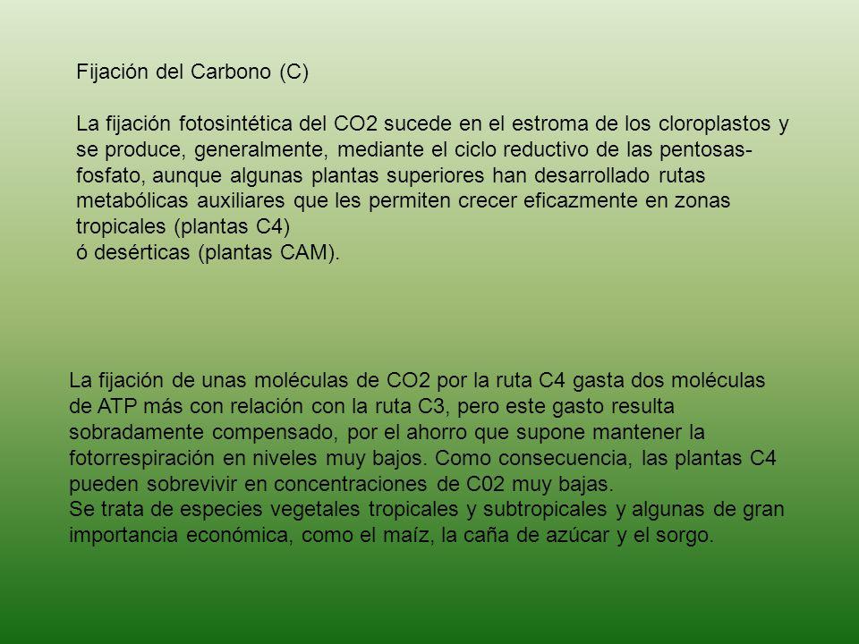 Fijación del Carbono (C) La fijación fotosintética del CO2 sucede en el estroma de los cloroplastos y se produce, generalmente, mediante el ciclo reductivo de las pentosas-fosfato, aunque algunas plantas superiores han desarrollado rutas metabólicas auxiliares que les permiten crecer eficazmente en zonas tropicales (plantas C4) ó desérticas (plantas CAM).
