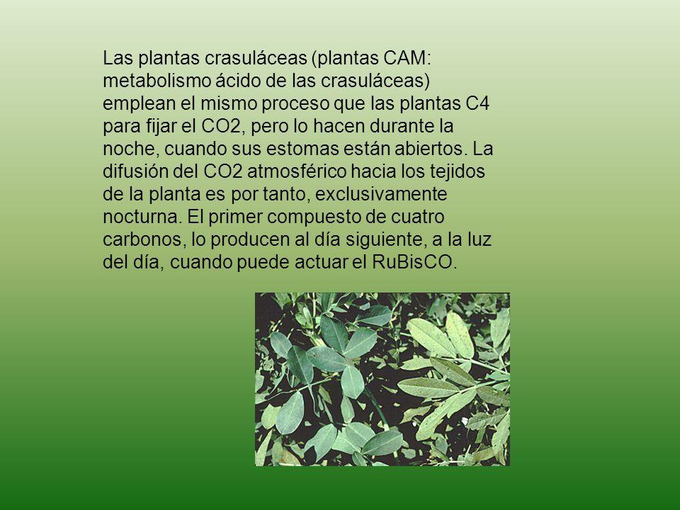 Las plantas crasuláceas (plantas CAM: metabolismo ácido de las crasuláceas) emplean el mismo proceso que las plantas C4 para fijar el CO2, pero lo hacen durante la noche, cuando sus estomas están abiertos.