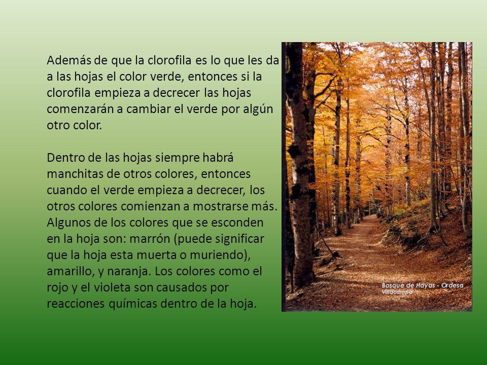 Además de que la clorofila es lo que les da a las hojas el color verde, entonces si la clorofila empieza a decrecer las hojas comenzarán a cambiar el verde por algún otro color.