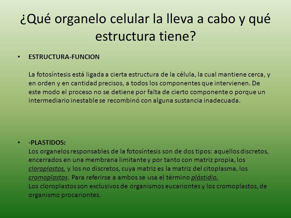¿Qué organelo celular la lleva a cabo y qué estructura tiene