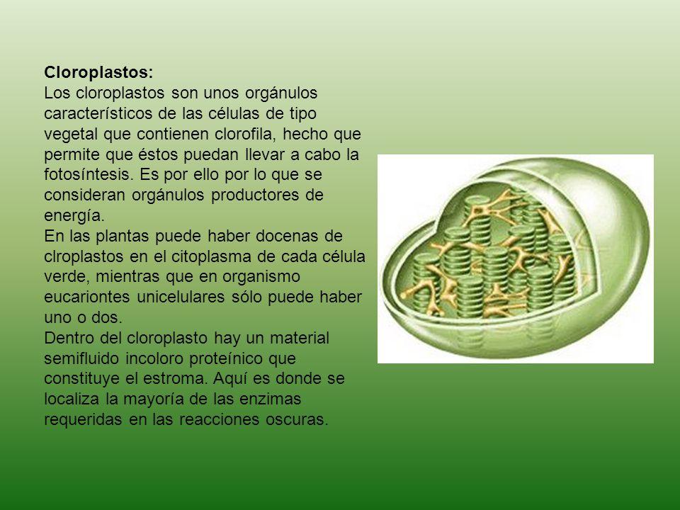 Cloroplastos: Los cloroplastos son unos orgánulos característicos de las células de tipo vegetal que contienen clorofila, hecho que permite que éstos puedan llevar a cabo la fotosíntesis.