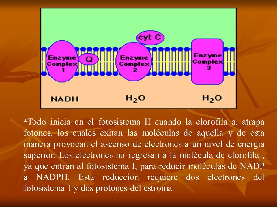 *Todo inicia en el fotosistema II cuando la clorofila a, atrapa fotones, los cuales exitan las moléculas de aquella y de esta manera provocan el ascenso de electrones a un nivel de energía superior.