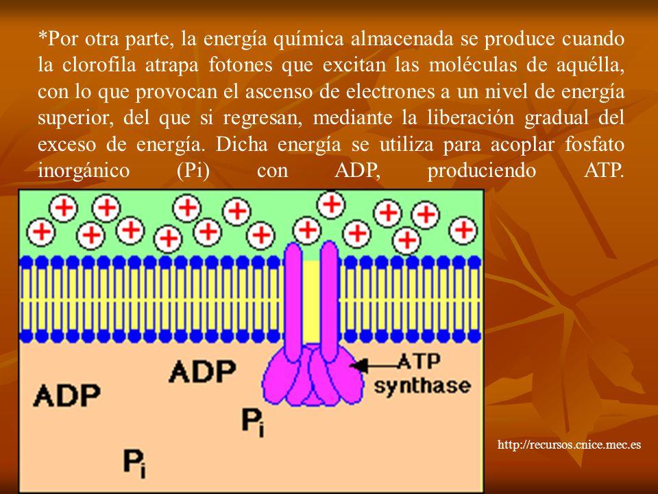 *Por otra parte, la energía química almacenada se produce cuando la clorofila atrapa fotones que excitan las moléculas de aquélla, con lo que provocan el ascenso de electrones a un nivel de energía superior, del que si regresan, mediante la liberación gradual del exceso de energía. Dicha energía se utiliza para acoplar fosfato inorgánico (Pi) con ADP, produciendo ATP.