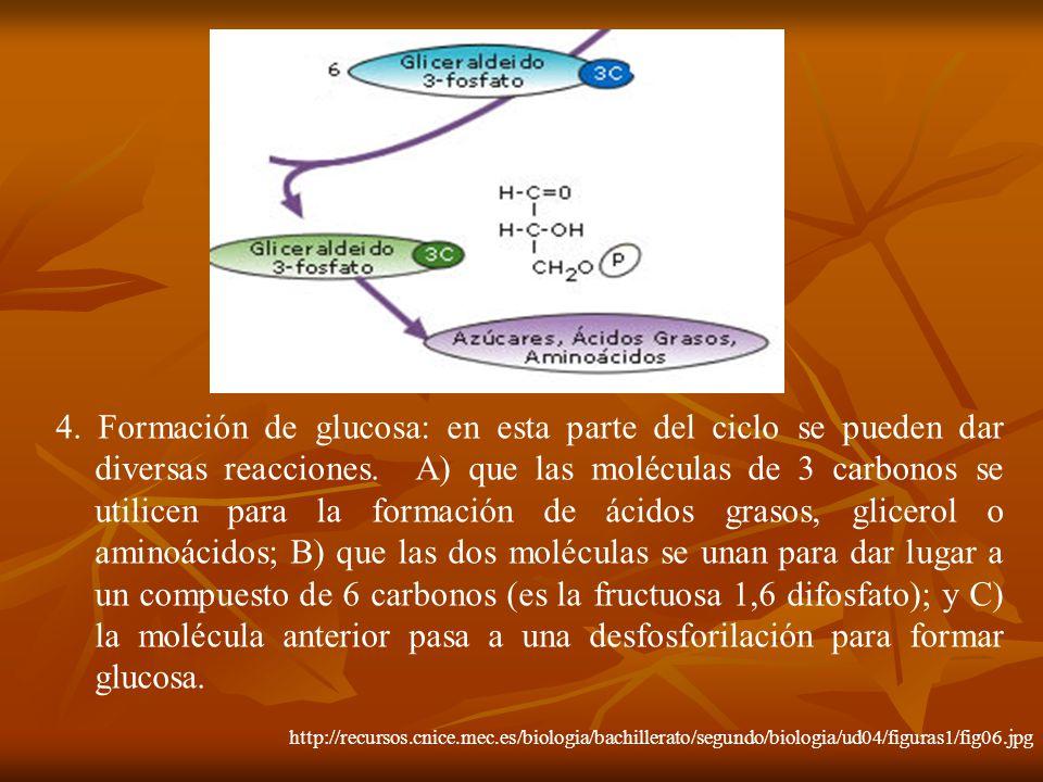 4. Formación de glucosa: en esta parte del ciclo se pueden dar diversas reacciones. A) que las moléculas de 3 carbonos se utilicen para la formación de ácidos grasos, glicerol o aminoácidos; B) que las dos moléculas se unan para dar lugar a un compuesto de 6 carbonos (es la fructuosa 1,6 difosfato); y C) la molécula anterior pasa a una desfosforilación para formar glucosa.
