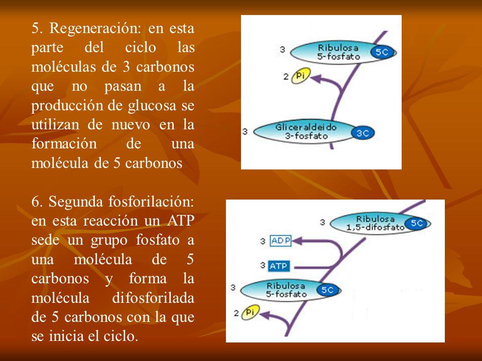 5. Regeneración: en esta parte del ciclo las moléculas de 3 carbonos que no pasan a la producción de glucosa se utilizan de nuevo en la formación de una molécula de 5 carbonos