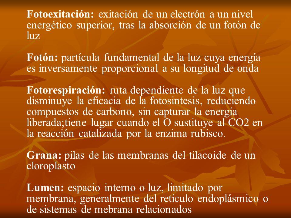 Fotoexitación: exitación de un electrón a un nivel energético superior, tras la absorción de un fotón de luz Fotón: partícula fundamental de la luz cuya energía es inversamente proporcional a su longitud de onda Fotorespiración: ruta dependiente de la luz que disminuye la eficacia de la fotosintesis, reduciendo compuestos de carbono, sin capturar la energía liberada;tiene lugar cuando el O sustituye al CO2 en la reacción catalizada por la enzima rubisco.