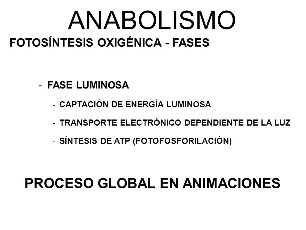ANABOLISMO PROCESO GLOBAL EN ANIMACIONES