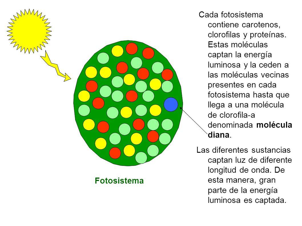 Cada fotosistema contiene carotenos, clorofilas y proteínas