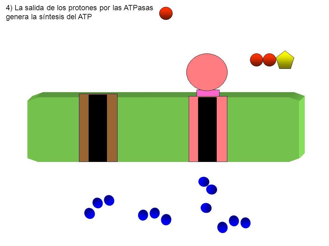 4) La salida de los protones por las ATPasas genera la síntesis del ATP