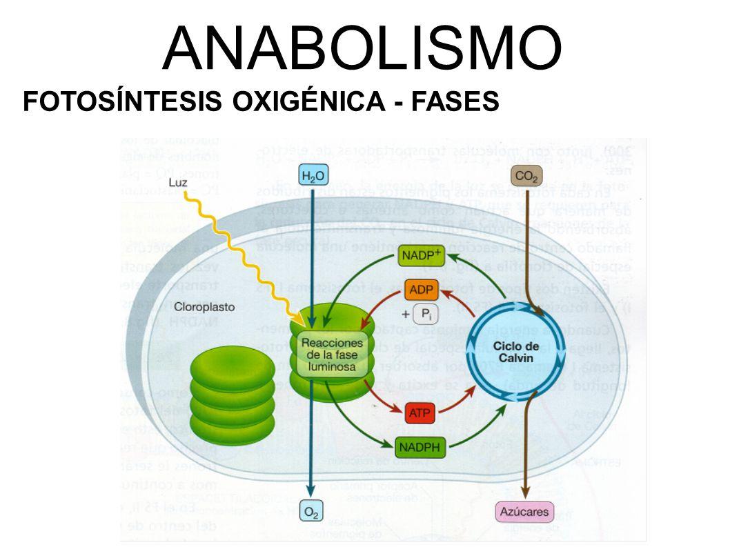ANABOLISMO FOTOSÍNTESIS OXIGÉNICA - FASES