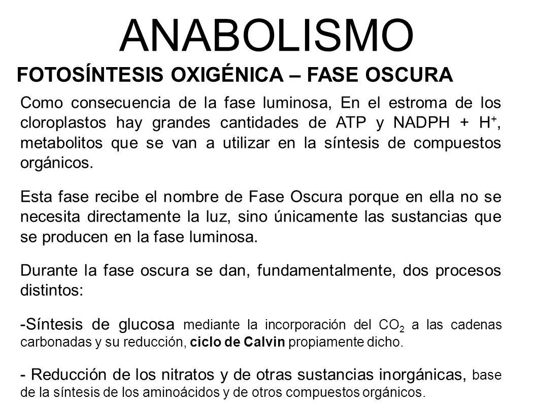 ANABOLISMO FOTOSÍNTESIS OXIGÉNICA – FASE OSCURA
