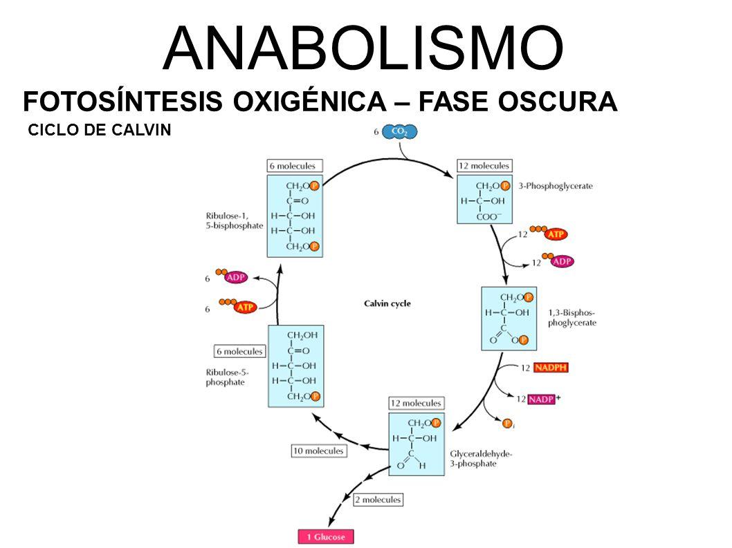 ANABOLISMO FOTOSÍNTESIS OXIGÉNICA – FASE OSCURA CICLO DE CALVIN