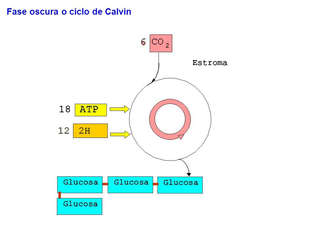 Fase oscura o ciclo de Calvin