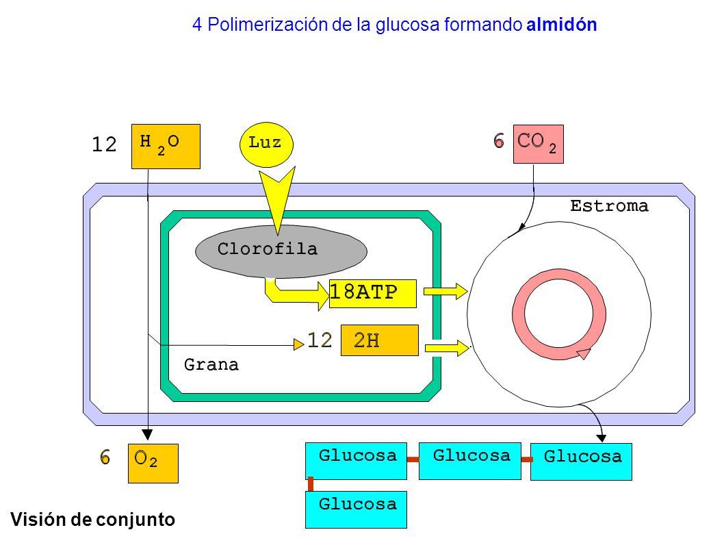 4 Polimerización de la glucosa formando almidón
