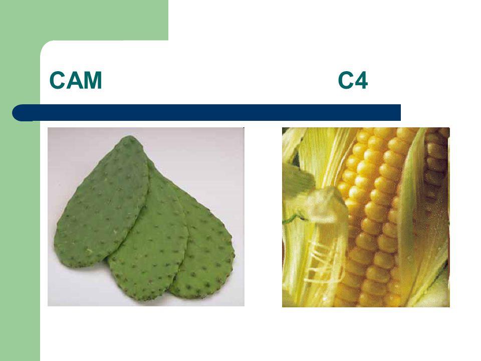 CAM C4