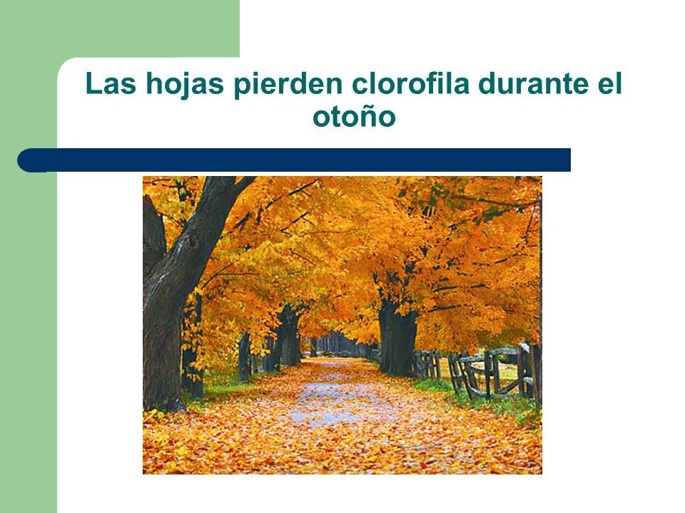 Las hojas pierden clorofila durante el otoño