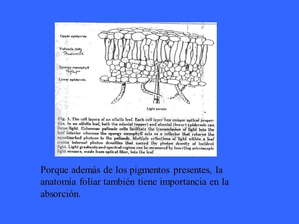 Porque además de los pigmentos presentes, la anatomía foliar también tiene importancia en la absorción.
