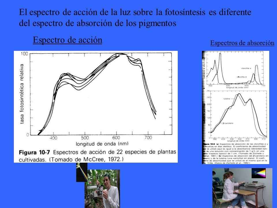 El espectro de acción de la luz sobre la fotosíntesis es diferente del espectro de absorción de los pigmentos