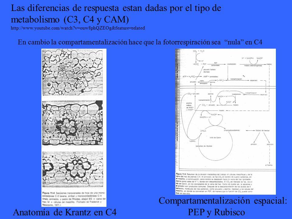 Compartamentalización espacial: PEP y Rubisco Anatomía de Krantz en C4